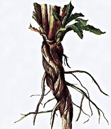 Цикорий обыкновенный – природный лекарь.