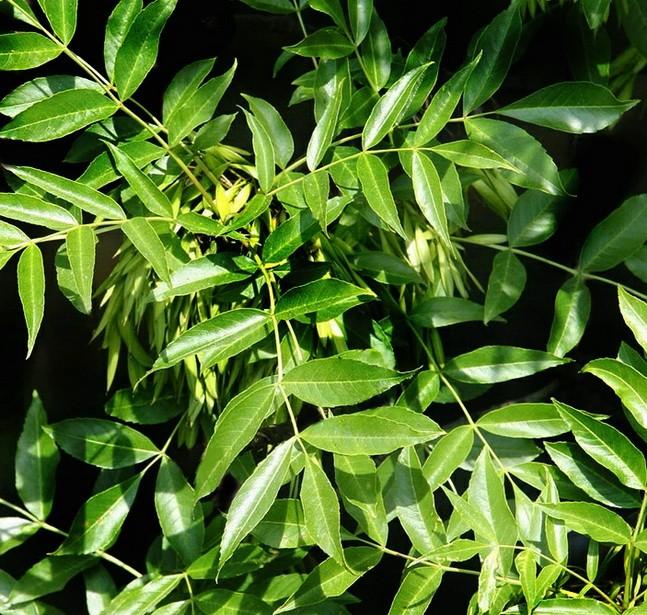 Ясень обыкновенный – природный лекарь.
