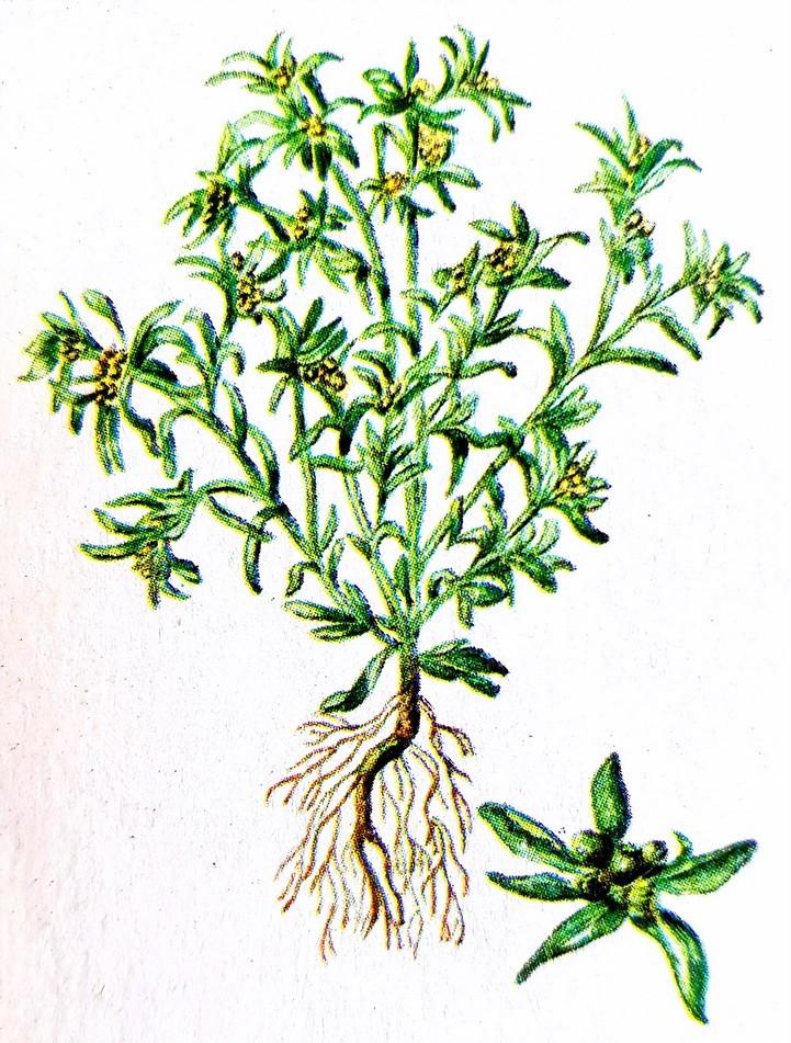 Сушеница топяная – природный лекарь.