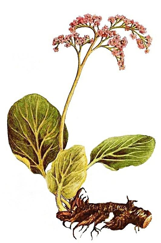 Бадан толстолистный – природный лекарь.