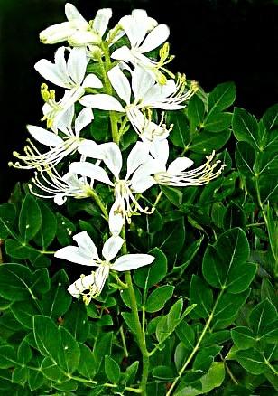 Ясенец белый – природный лекарь.