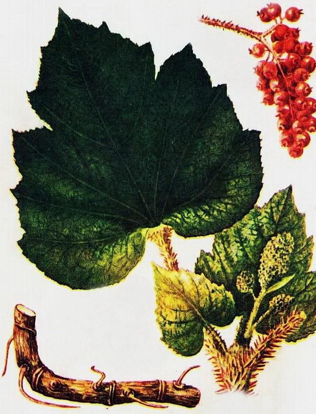 Заманиха высокая (Оплопанакс высокий) – природный лекарь.