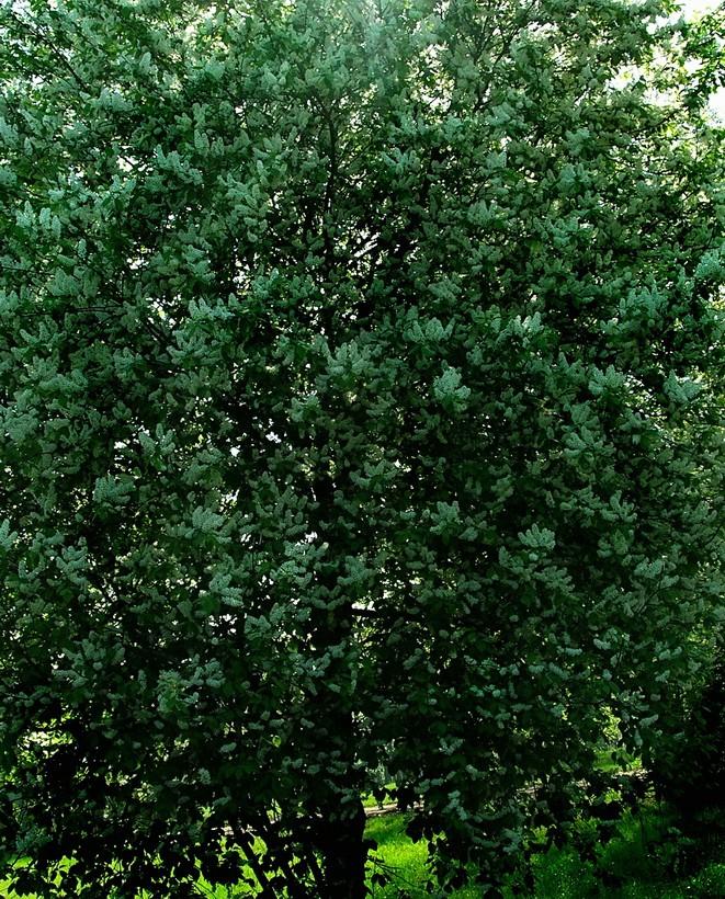 Черёмуха обыкновенная – природный лекарь.